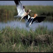 BIRD (SINGLAS)